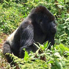 #silverback #mountain #gorilla #onthewaytomombassa #tracking #ruanda