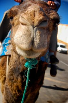 I don't like that this camel is tied up, but I love the long eyelashes and curiosity shown by this wonderful creature! We have had camels come near our desert picnic just to see what we were doing. So FUN!