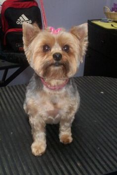 """Groomers BBS: Yorkie puppy cut """"faces""""?"""
