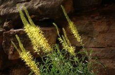 Prince's Plume ~ http://www.bikeraft.com/blog/utah-desert-springtime-wildflowers-arriving-soon/