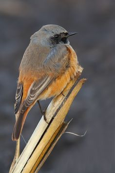 Black redstart by Tom  Kruissink on 500px