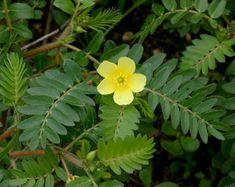 Kotvičník zemný je silné afrodisiakum. Celá rastlina obsahuje významné množstvo blahodárných látok na ľudské telo.