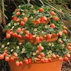 Strawberry Tower using 3 stacked terracotta pots
