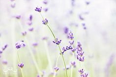 Calming Lavender - Photo Print, flower photography, spring, botanical, summer