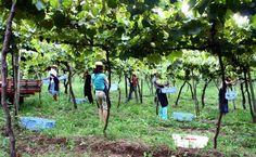 Visitantes participando da colheita de uva na vinícola Luiz Valduga & Filho, no Vale dos Vinhedos,  em Bento Gonçalves