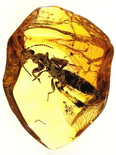 """Baltic amber (45 myo) - rare rove beetle (Staphylinidae, Paederinae)   Flickr - Photo Sharing! 1. For the license, give credits to: """"© Anders Leth Damgaard"""" and create a link to this web page:""""www.amber-inclusions.dk"""". Please note clearly on your web site that I hold the copyrights. http://www.amber-inclusions.dk/"""