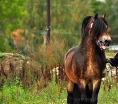 Nordsvensk stallion -  Lukas