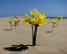 Desert Flowers, Exotic Flowers, Yellow Flowers, Colorful Flowers, Wild Flowers, Beautiful Flowers, Alpine Garden, Strange Flowers, Unusual Plants