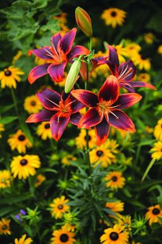 """Lily 'Forever Susan' Lillium Asiatic - An eye-catching variety. Height 24-32"""".  Zones 3-10"""