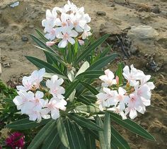 Photos of Common Poisonous Plants of Hawaii: Oleander (`OLIWA)