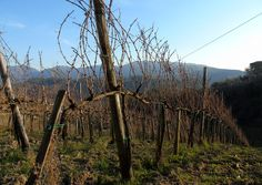 #vineyard #vigneto #CasaleCaira #VellediComino #Gallinaro #winter #storiedivini