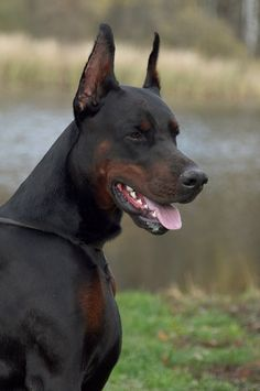 Moxito, pride of Russia #Doberman looks like a dobie/rottweiler mix or something like that