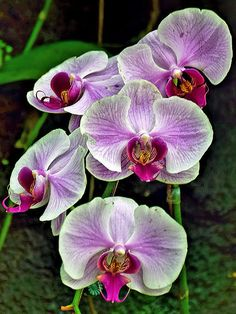Phalaenopsis Orchid   Flickr - Here is a care tutorial: https://www.youtube.com/watch?v=Mce-ne6NyL0