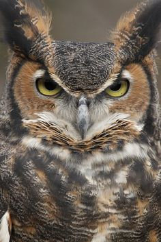 Great Horned Owl - the sternest of them all...