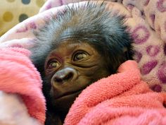 TODAY's Cutest Thing Ever! Baby gorilla smiles, snuggles in blankets.