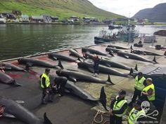 "harborside scene on ""beautiful"" #FaroeIslands marred by sight of 15 massacred whales   #OpKillingBay"