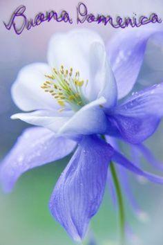 Softness ❀ Columbine - Periwinkle blue & chartreuse green - Akelei by VeronikaK / Flowers Nature, Exotic Flowers, Amazing Flowers, Flowers Garden, My Flower, Pretty Flowers, Purple Flowers, Wild Flowers, Planting Flowers