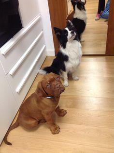 Dogue De dordeaux pupy