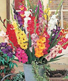 Google Image Result for http://www.farmerfred.com/images/gladiolus2.jpg