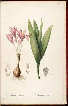 Vintage Botanical Print Redoute Les Liliacees Colchicum Atumnale
