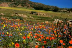 Namaqualand, South Africa... http://www.my-cape-town-south-africa.com/namaqualand-spring-flowers.html