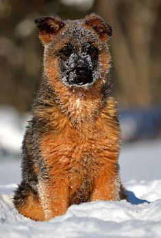 12 week old German Shepherd puppy