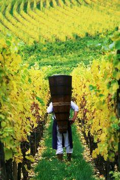 Vins et Crémant d'Alsace HALBEISEN - Bergheim #Alsace