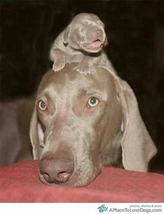 one of the best dogs ever. (cause mine are weimaraner) Animals And Pets, Baby Animals, Funny Animals, Cute Animals, Cute Puppies, Cute Dogs, Dogs And Puppies, Doggies, Beautiful Dogs