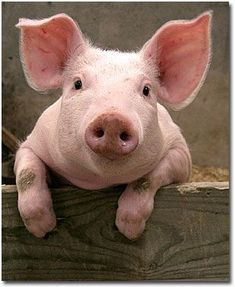 Baby Pig Pictures ~ Animal Pictures Gallery animal-pictures-gallery.blogspot.com