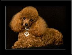 Google Image Result for http://www.adorablepoodles.net/901.jpg