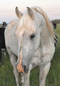 Silver Omen - Aurora Stud - Pure Crabbet arabian horses