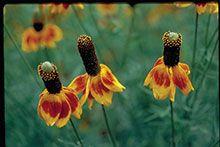 Wildflowers of Texas - Texas Highways