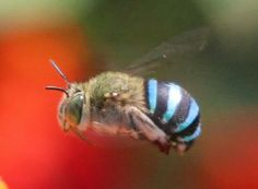 Blue banded bee, India.  A colorful place!