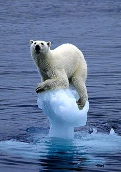 A polar bear clings to a block of ice  (by Carla Lombardo Ehrlich for WWF)