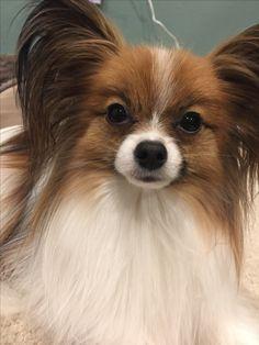 Dog Love, Puppy Love, Papillion Dog, Animals Beautiful, Cute Animals, Dog Anatomy, Animal Portraits, Mochi, Dog Stuff