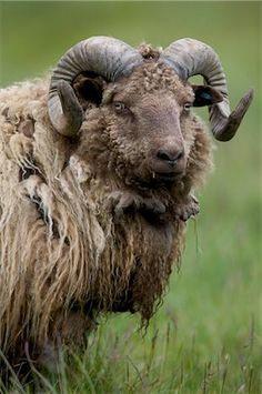 View Stock Photo of Domestic Sheep Ram East Coast Iceland. Find premium, high-resolution photos at Getty Images. Farm Animals, Animals And Pets, Cute Animals, Beautiful Creatures, Animals Beautiful, Zebras, Alpacas, Photo Animaliere, Sheep And Lamb