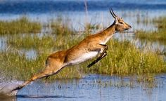 The lechwe, or southern lechwe, (Kobus leche)