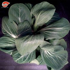 BOK CHOY OR PAK CHOI is a type of Chinese cabbage. It is excellent source of vitamin C, vitamin A and have anti-Inflammatory benefits. Use Bok Choy in your daily salads, sandwiches, soups or for garnishing.