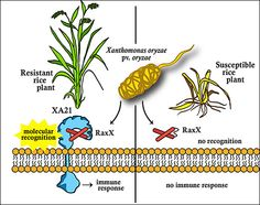 Rice disease-resistance discovery closes the loop for scientific integrity