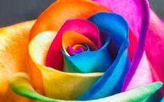 Roses arc-en-ciel en 3 étapes
