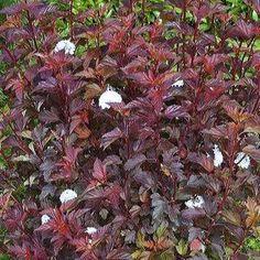 Physocarpus opulifolius Diable DOr® Mindia - Feuilles + Fleurs