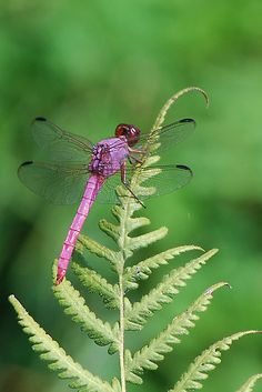 Look to the magical dragonflies for poetic inspiration. (Purple dragonfly sunning by Ben Waggoner)