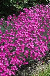Dianthus Firewitch - considering for a container or the side yard.