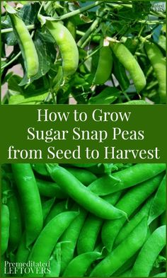 Here are some tips on how to grow sugar snap peas, including planting sugar snap pea seeds and seedlings, how to care for sugar snap pea plants, and how to harvest sugar snap peas. With this simple guide, you will be growing sugar snap peas in no time! Growing Peas, Growing Veggies, Planting Vegetables, Growing Zucchini, How To Grow Vegetables, Growing Green Beans, Organic Vegetables, Planting Succulents, Gardens