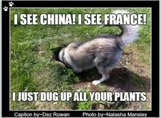 ...I just dug up all your plants. If those plants are not inside a fence protected from the husky, they are free game. lol