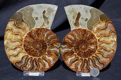 Cut Split PAIR Ammonite Deep Crystal Cavity by Paulstaberminerals, $94.99