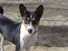 Senji is an adoptable Basenji Dog in Acton, CA. Senji, a two year old bundle of energy, wants to find an experienced Basenji home that knows how to channel her energy and has tall fences to boot.