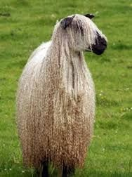 Image result for teeswater sheep