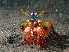 Mantis shrimp are amazing.