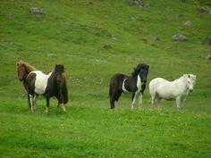 Ponies in Ireland Ponies, Ireland, Cow, Animals, Viajes, Animales, Animaux, Cattle, Animal